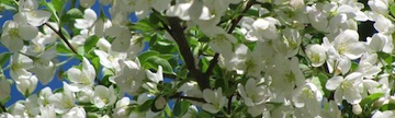 Apple Blossoms, Red Apple Farm, Phillipston, Massachusetts